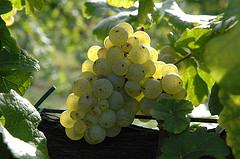 Grapes at September